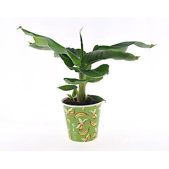 Zimmerpflanze von Botanicly – Bananenpflanze – Höhe: 29 cm – Musa Tropicana
