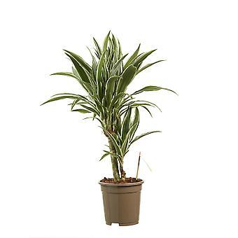 Inomhus växt från Botanicly-Dragon Tree-höjd: 60 cm, 2 stjälkar-Dracaena Derem. Vit rand