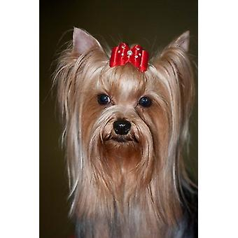 Show Yorkshire Terrier Dog with red bow Poster Print by PiperAnne Worcester