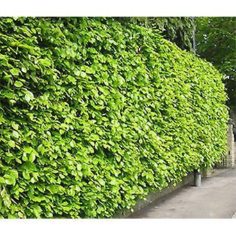 Beech beech 25 piece 60-80 cm height for 6 m hedge of Fagus sylvatica