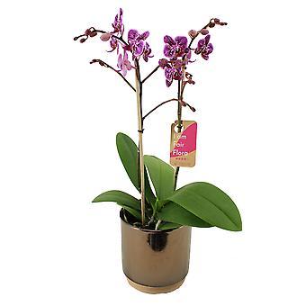 Butterfly orkidé ↕ 50 cm finns med planter | Phalaenopsis Multiflora Monterrey