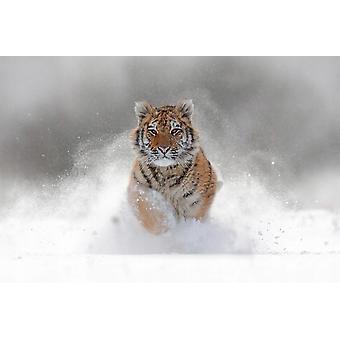 Wallpaper Mural Siberian Tiger