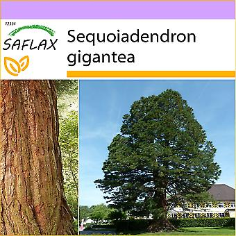 Saflax - 50 Samen - Kalifornien riesigen Redwood - Séquoia Géant - Sequoia Gigante - Árbol Mamut - Berg - Mammutbaum
