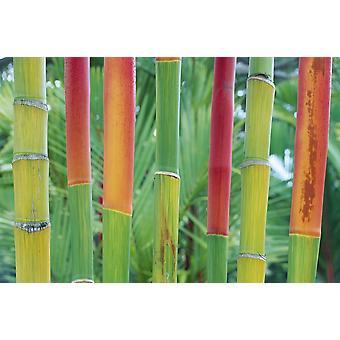 הוואי מאווי פירוט של האדום שעווה דקל גבעולי מרופדת בשורה תקריב העלווה רקע פוןהדפס