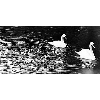 8 cygnes - Reproduction d'art
