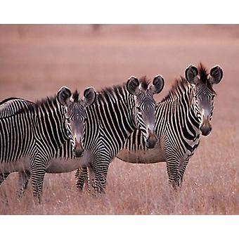 Grevys Zebra Masai Mara Kenya plakat Print af Dee Ann Pedersen