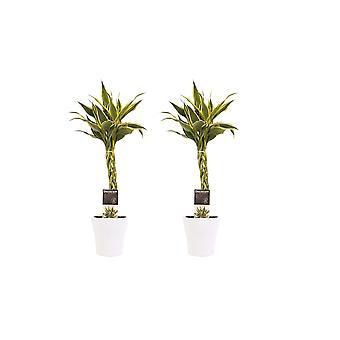 Drakenboom ↕ 45 tot 45 cm verkrijgbaar met bloempot | Dracaena Sandriana