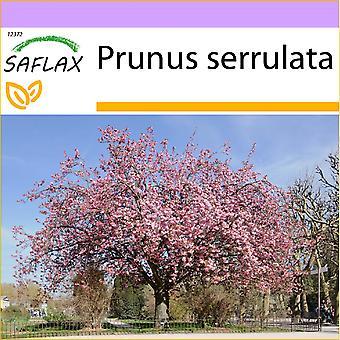 Saflax - 30 graines - cerisier sauvage - Cerisier du Japon - Sakura - Cerezo japonés - Japanische Blütenkirsche