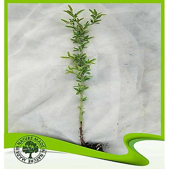 Prunus dulcis (amandelboom)-plant