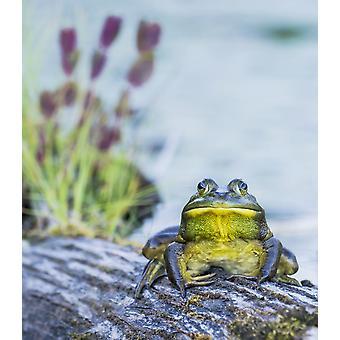Bull Frog (Rana Catesbeiana) ruht auf einem Baumstamm neben einem See Ontario Kanada PosterPrint