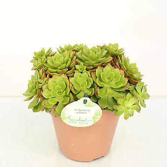 Kaktus von Botanicly – Echeverie – Höhe: 20 cm – Echeveria affinis