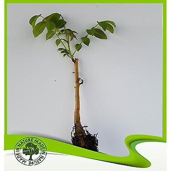 Juglans regia (walnoot)-plant