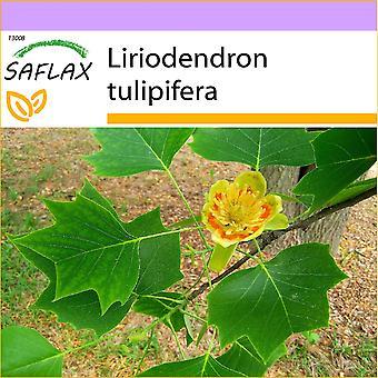 Saflax - 20 frø - Tulip Tree - Tulipier de Virginie - Albero dei tulipani - Arbol de los Tulipanes? - Echter Tulpenbaum