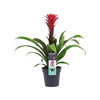Flor de Botanicamente – Guzmania – Altura: 45 cm – Guzmania Hope Rood
