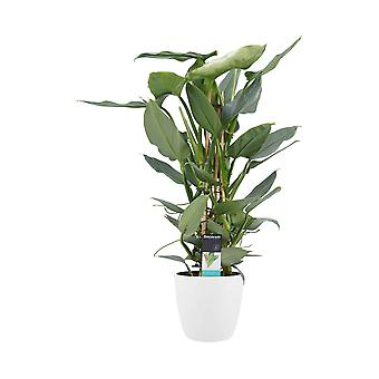 Fleur – Philodendron Silver Sword en pot de fleur blanc comme un ensemble – Hauteur: 70 cm