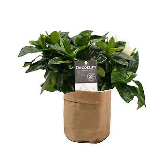 Fleur de Botanicly – Gardenia jasminoides – Hauteur: 35 cm