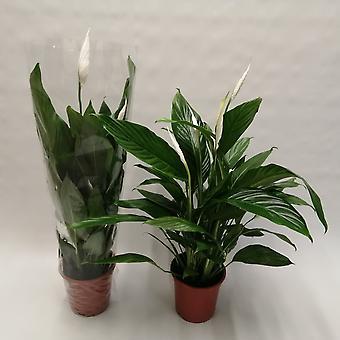 Zimmerpflanze von Botanicly – Einblatt – Höhe: 81 cm – Spathiphyllum Bingo Cupido