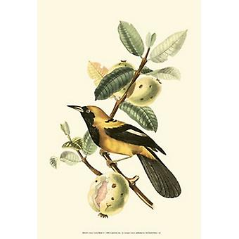 Cuvier Exotic Birds II Poster Print by Baron cuvier Georges (13 x 19)