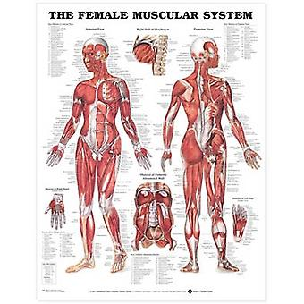The Female Muscular System Anatomical Chart by Prepared for publication by Anatomical Chart Company