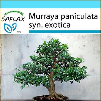 Saflax - Gift Set - 12 frön - Bonsai - Orange Jasmin - Oranger jasmin - Murraya - Naranjo jazmín - B - Orangen-Jasmin
