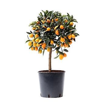 Citrus Kumquat ↕ de 50 a 75 cm disponíveis com plantador | Kumquat cítrico