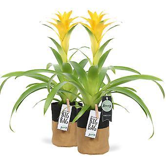 "Bromelia Guzmania Deseo Yellow in pot ""BigBag"" 2 pieces - Height 45 cm - Diameter pot 13 cm"