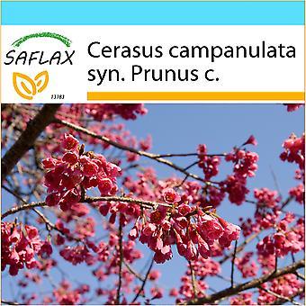 Saflax - regalo conjunto - 10 semillas - Taiwán cereza - Cerisier de Taiwán - Ciliegio di Taiwan - Cerezo ácido - Taiwan - Zierkirsche