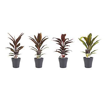 Kamerplanten – 4 × Koolboom in grijze plantenpot als set – Hoogte: 40 cm