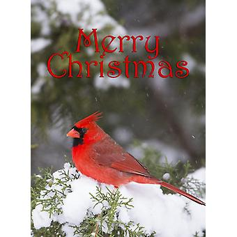 Northern Cardinal male in Juniper tree in winter Marion Illinois USA Poster Print