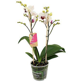Orchidea – Orchidea farfalla – Altezza: 50 cm, 2 germogli