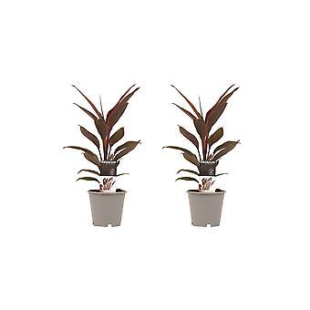 Plantes d'intérieur de Botanicly – 2 × Kordulê – Hauteur: 40 cm – Cordyline Fruticosa Tango