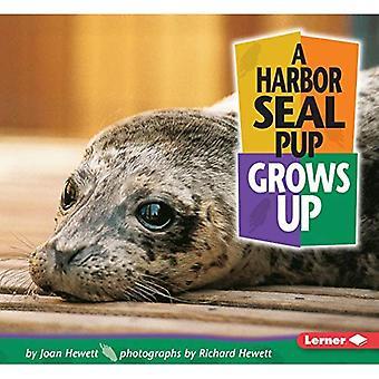 Harbor Seal Pup wird erwachsen
