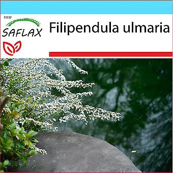 Saflax - Lahjasetti - 500 siementä - Mesiangervo - La reine des prés - Regina dei prati - Reina de los prados - Echtes Mädesüß