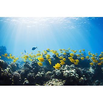 Hawaii Lanai scuola di giallo Tangs (Zebrasoma flavescens) in Hulupoe Bay Marine Preserve PosterPrint