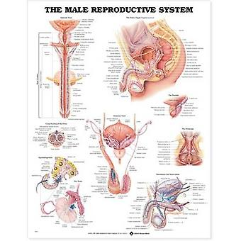 The Male Reproductive System Anatomical Chart by Prepared for publication by Anatomical Chart Company