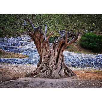 Tapet väggmålning gamla olivträd stammar