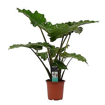 Zimmerpflanze von Botanicly – Pfeilblatt – Höhe: 80 cm – Alocasia portodora