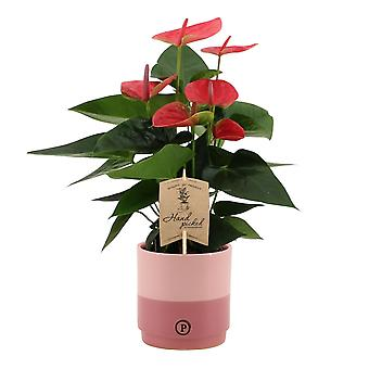 Bloem – Flamingoplant in roze keramiek pot als set – Hoogte: 36 cm