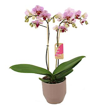 BOTANICLY Phalaenopsis Multiflora Sweet Red Lip - Schmetterlingsorchidee