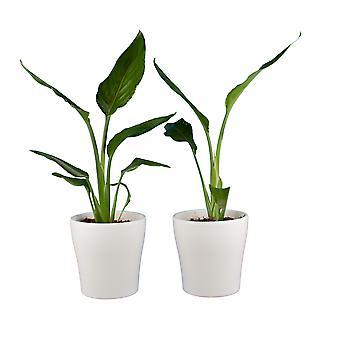 Kamerplanten – 2 × Paradijsvogelbloem incl. sierpot wit als set – Hoogte: 35 cm