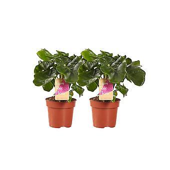 Inomhusplantor från Botanicly – 2 × Klättring Philodendron – Höjd: 40 cm – Philodendron Atom