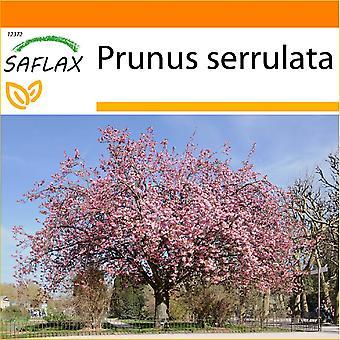 Saflax - giardino nel sacchetto - 30 semi - ciliegio - Cerisier du Japon - Sakura - Cerezo japonés - Japanische Blütenkirsche