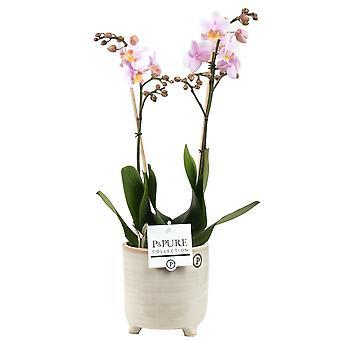 BOTANICLY Phalaenopsis Amaglad - Orquídea mariposa