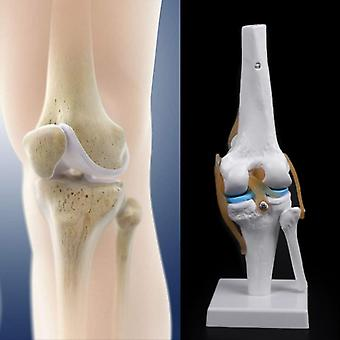 Human Anatomical Knee Joint Flexible Skeleton Model Medical Learning Aid