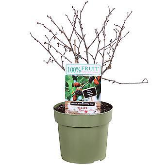Haies et arbustes de Botanicly – Morus Mojo Berry – Hauteur: 75 cm