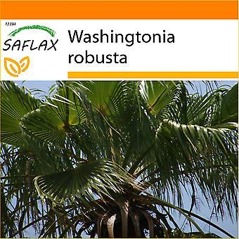Saflax - jardim no saco - 12 sementes - mexicano algodão palma - Palmier éventail - messicana de Palma - Palma de Califórnia - Washingtonia Fächerpalme