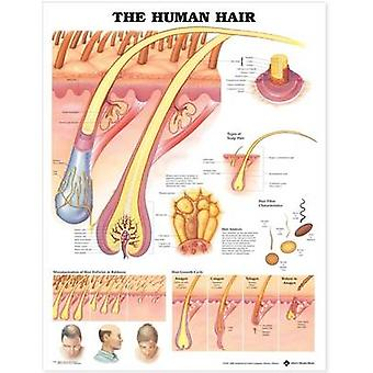 The Human Hair Anatomical Chart by Prepared for publication by Anatomical Chart Company