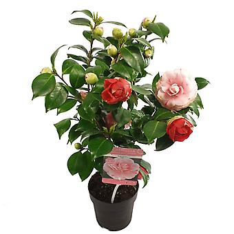 Flower from Botanicly – camellia – Height: 35 cm, pink flowers – Camellia Bonomiana