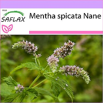 Saflax - 500 siemenet - Meksikolainen nana minttu - Menthe mexicaine nana - Menta spicata Nana - Menta de nana mejicana - Mexikanische Nana Minze