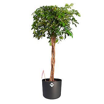 Dwarf umbrella tree ↕ 110 cm available with planter | Schefflera arb. Gold Capella